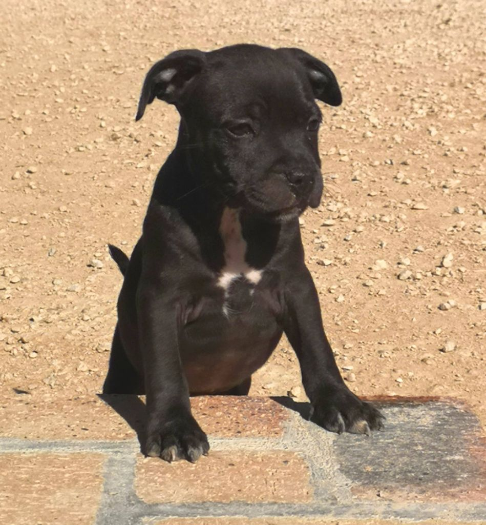 Oscuro - Staffordshire Bull Terrier