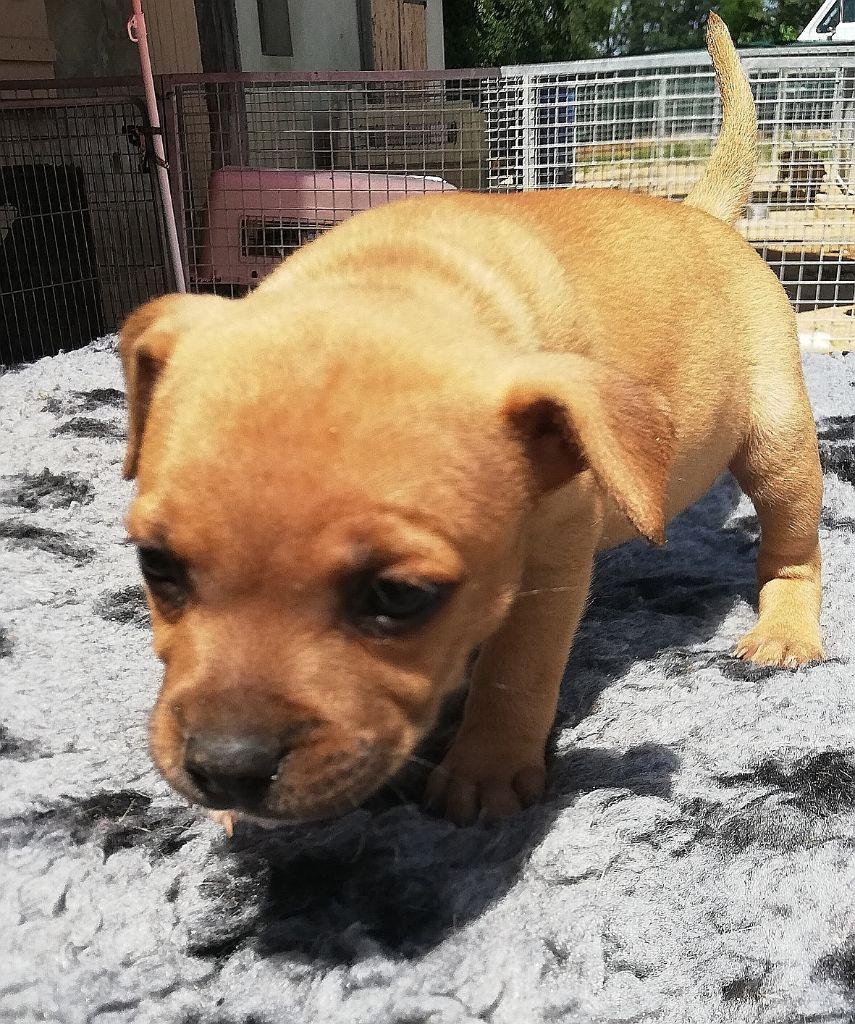 Opium  - Staffordshire Bull Terrier