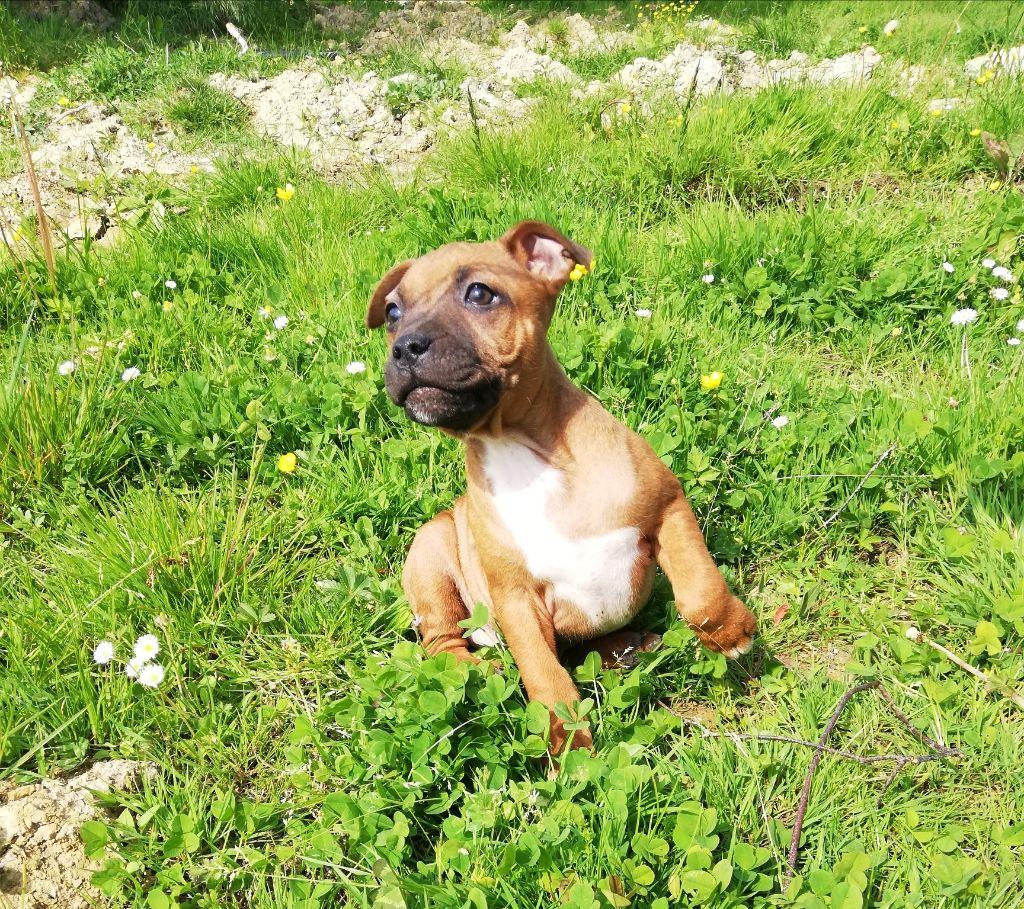 Ozko - Staffordshire Bull Terrier