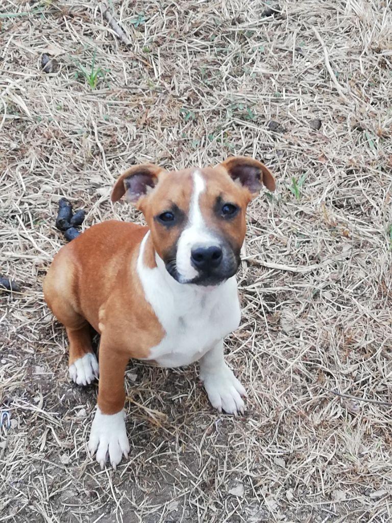 O'junior - Staffordshire Bull Terrier