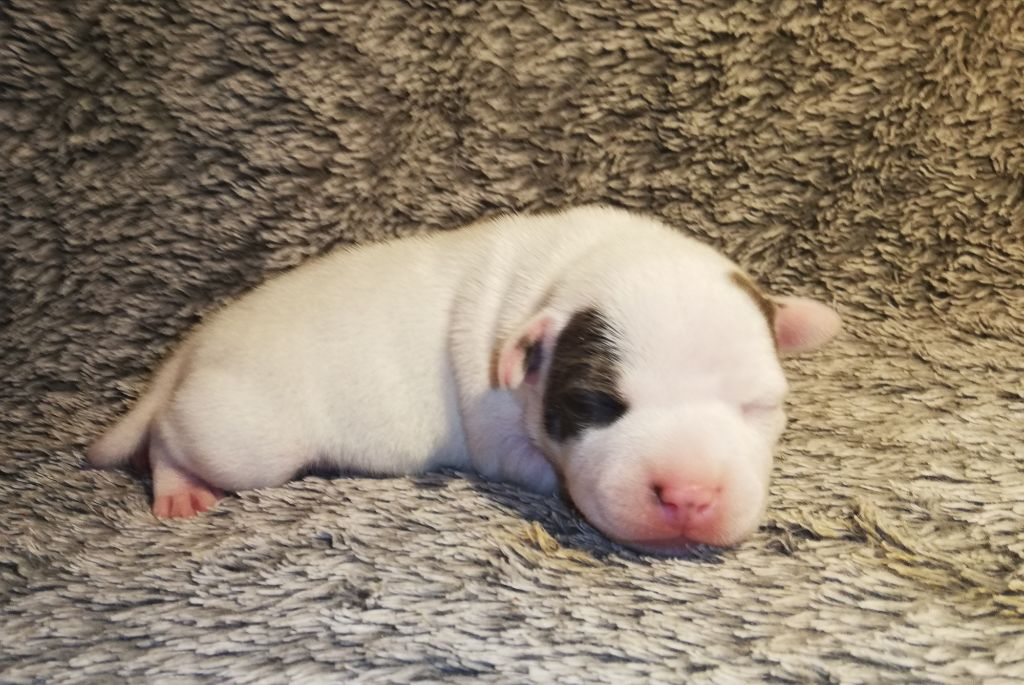 Everybody's Got - Chiot disponible  - Staffordshire Bull Terrier