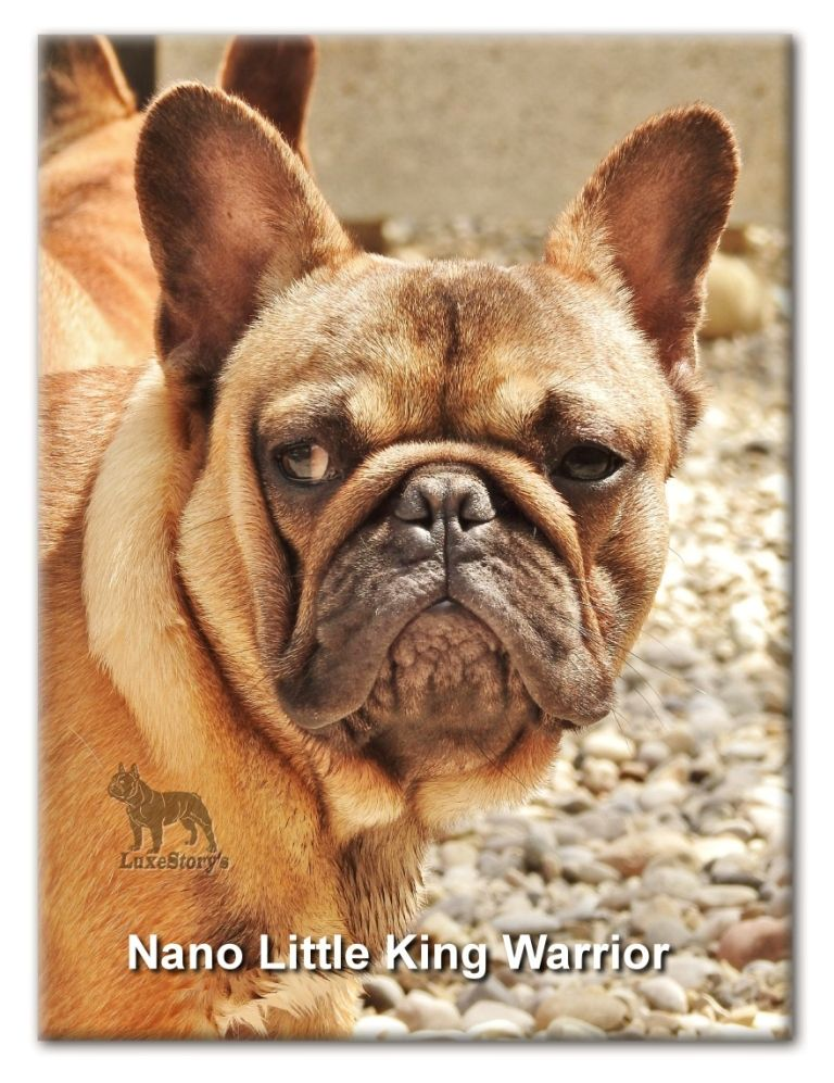 Nano litlle King warriors - Bouledogue français