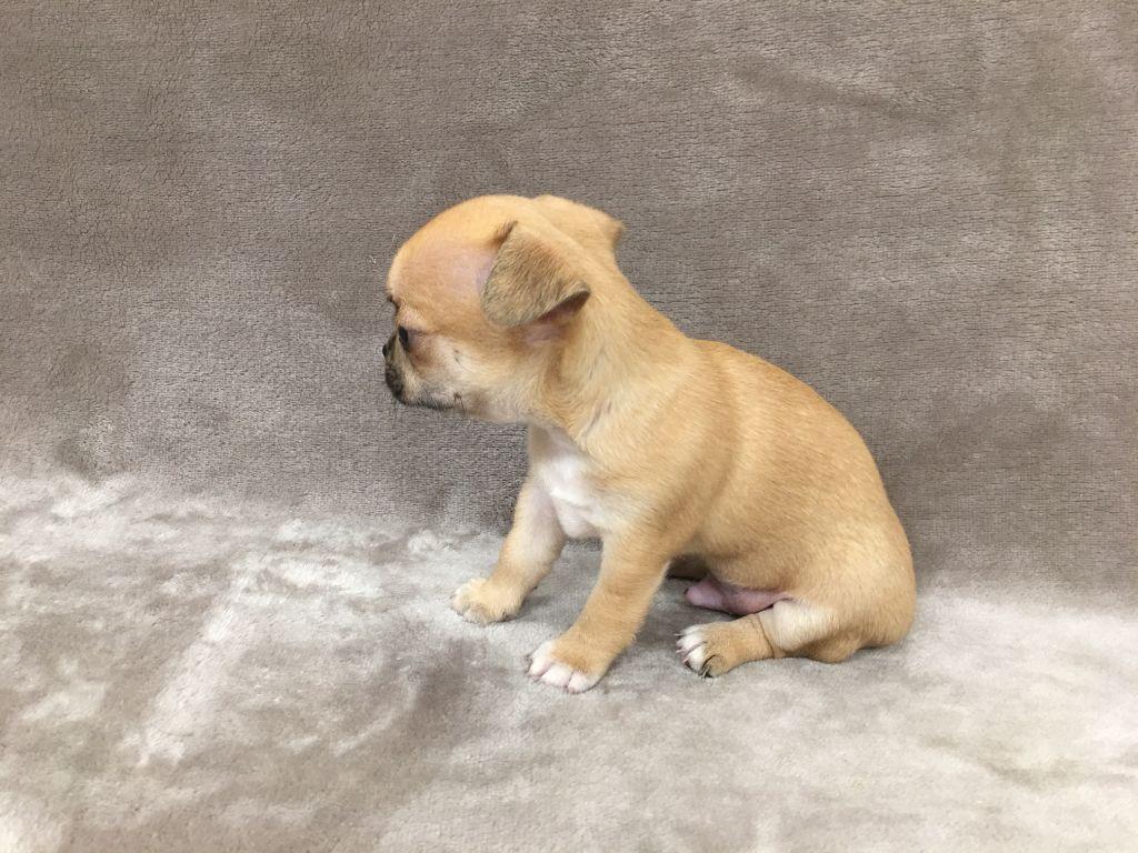 Des Barons De Maule - Chiot disponible  - Chihuahua