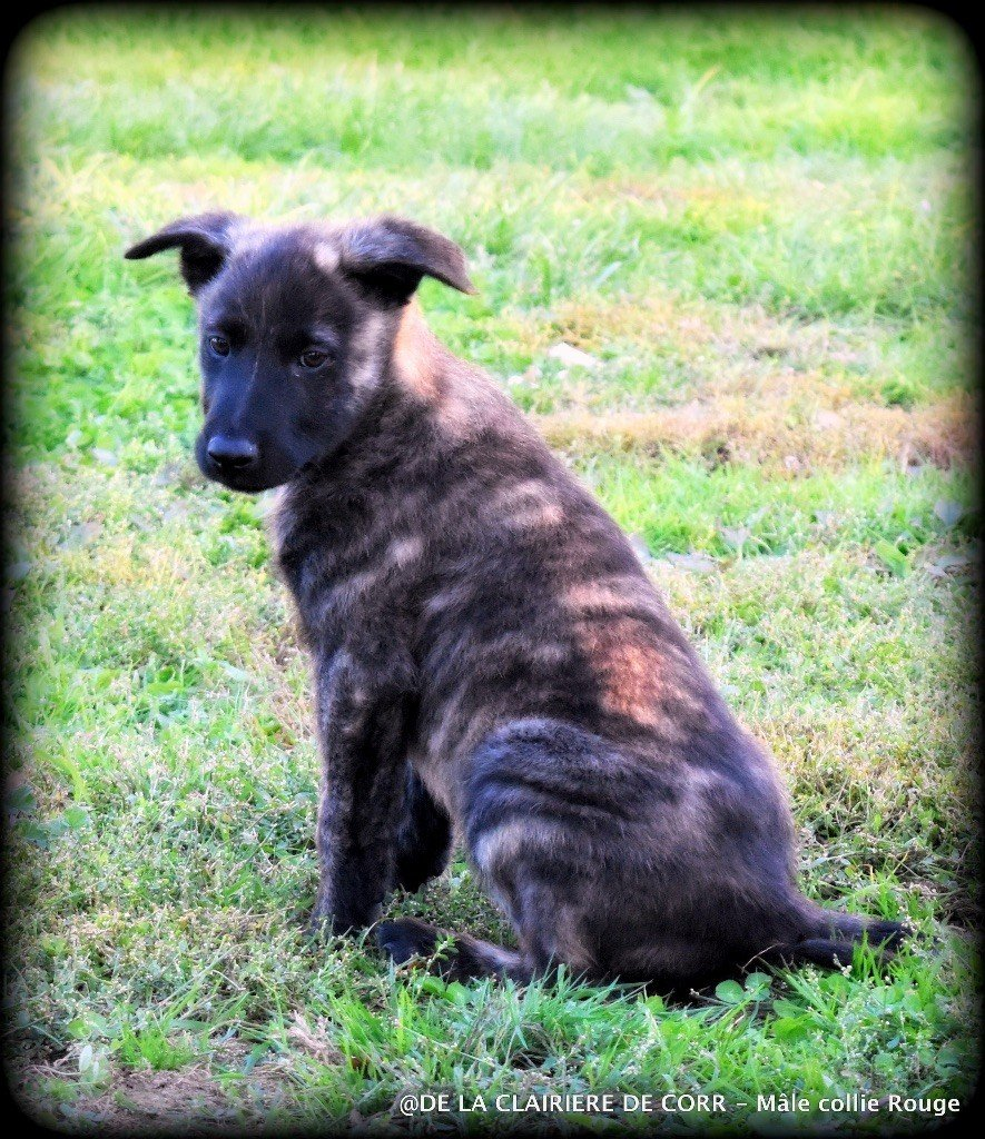 De La Clairiere De Corr - Chiot disponible  - Berger hollandais