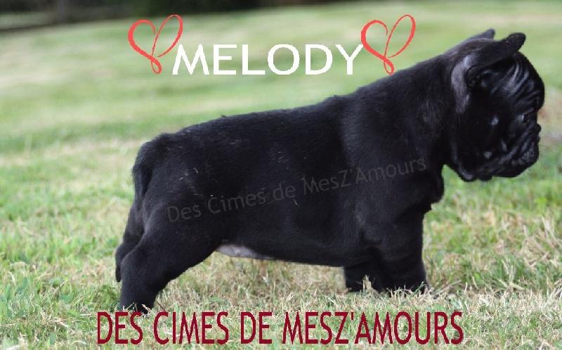 Des Cimes De Mesz'Amours - Chiot disponible  - Bouledogue français