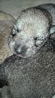 Des Loups De Leendert - Chiot disponible  - Chien-loup de Saarloos