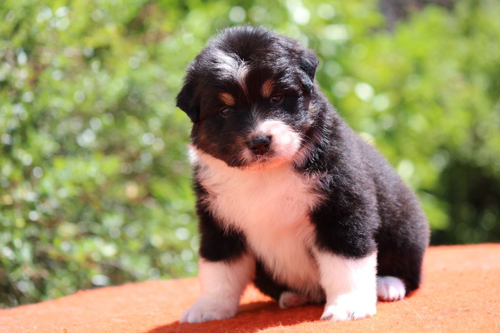 Of Hickory Lake - Chiot disponible  - Berger Australien