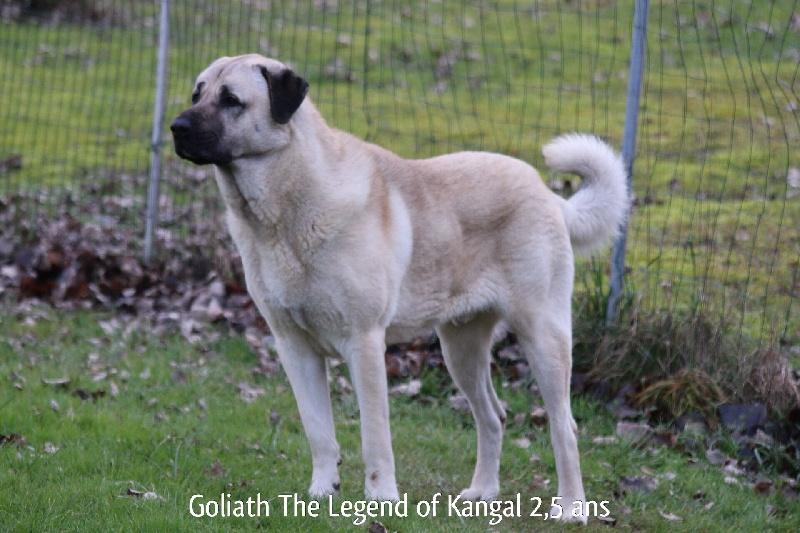 club de race kangal