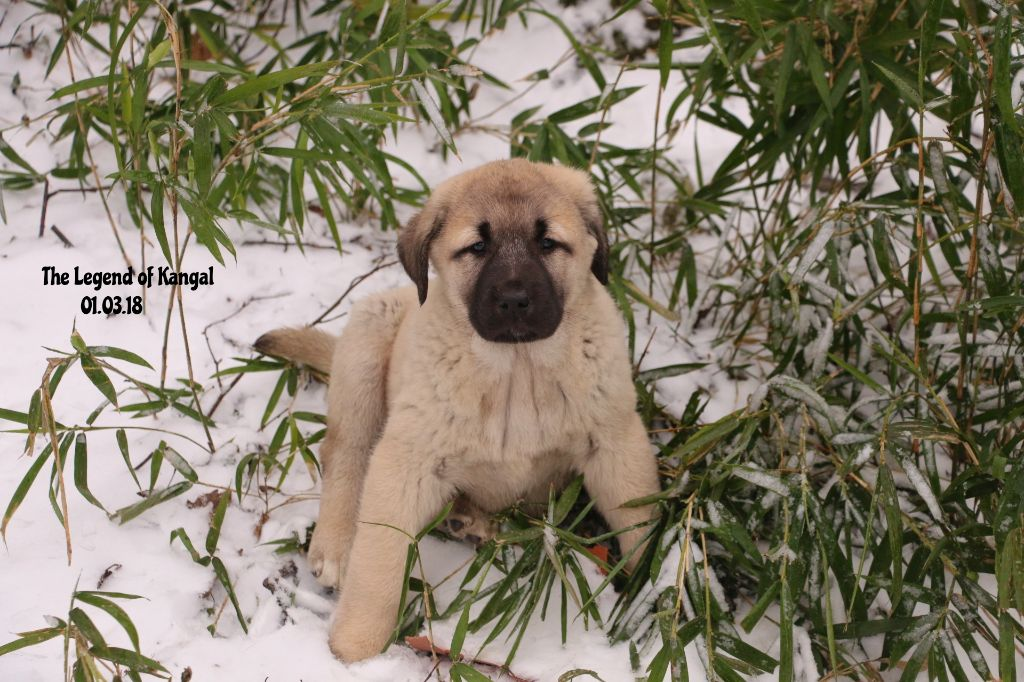 The Legend Of Kangal - Chiot disponible  - Berger d'Anatolie