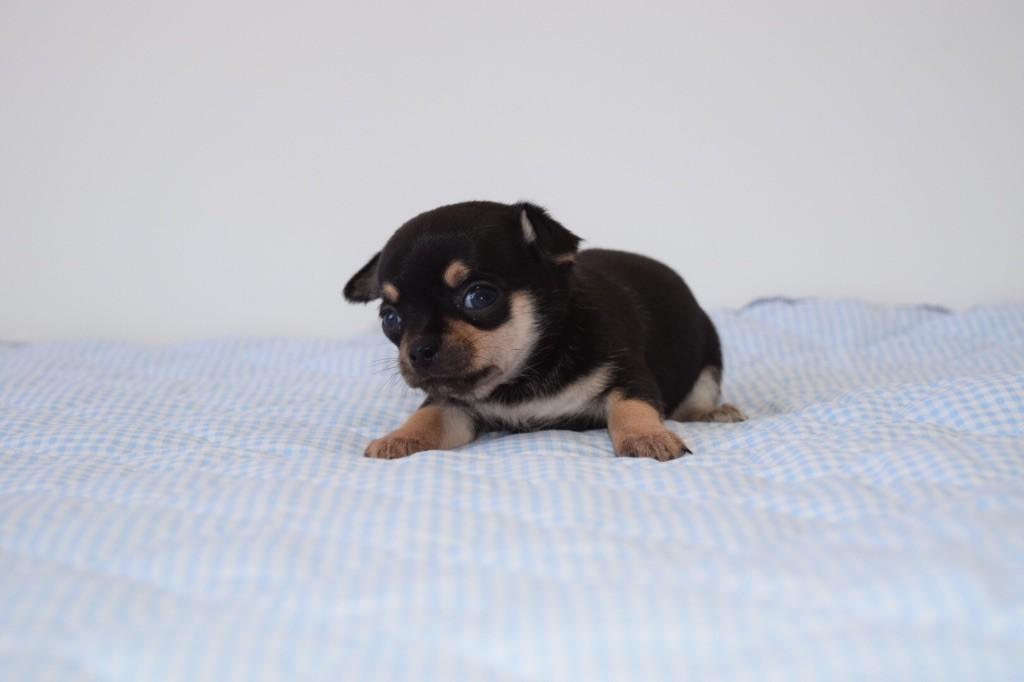 Du Clos De Diania Turba - Chiot disponible  - Chihuahua