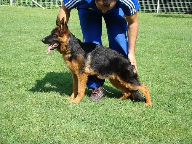 Honda Val D Or >> Photo - Elevage Di Voghenza - eleveur de chien Berger allemand var