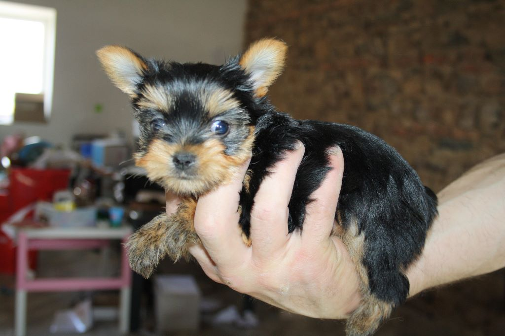 o'puce - Yorkshire Terrier