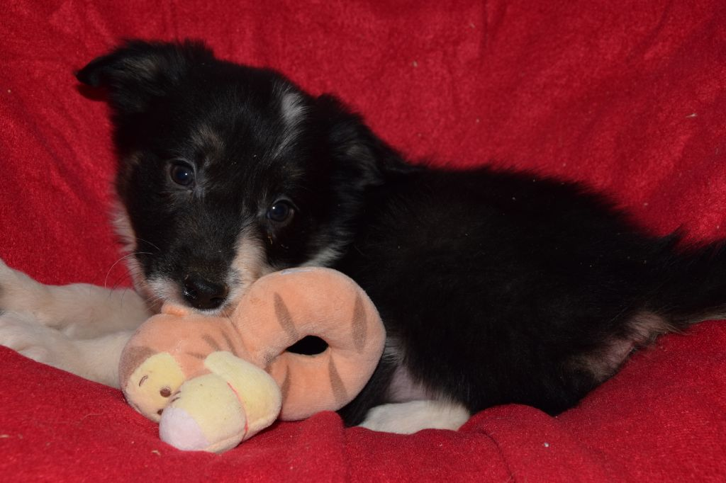 CHIOT - Border Collie