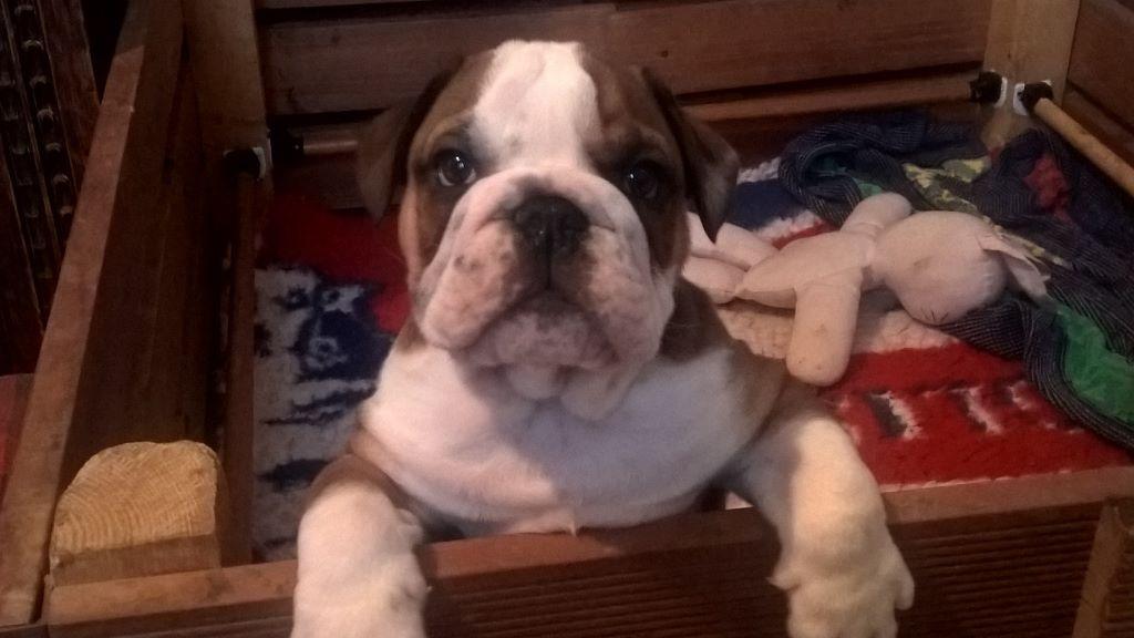 CHIOT Noboz - Bulldog Anglais