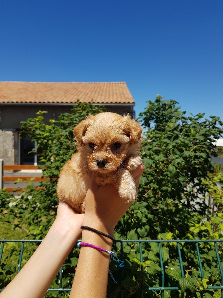 de l eternel mitness - Chiot disponible  - Bichon Havanais