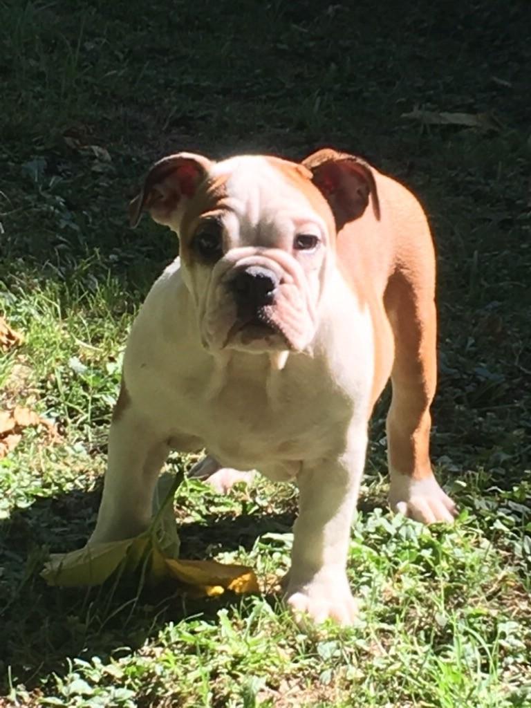 De La Rivière Aux Menhirs - Chiot disponible  - Bulldog Anglais