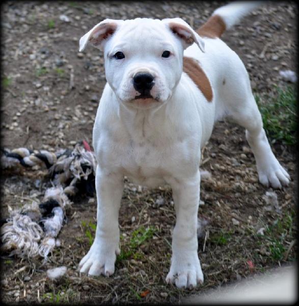 Anpa O Wicanhpi - Chiot disponible  - Staffordshire Bull Terrier
