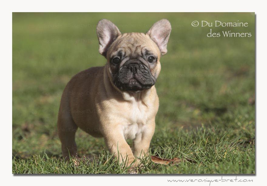 Du Domaine Des Winners - Chiot disponible  - Bouledogue français