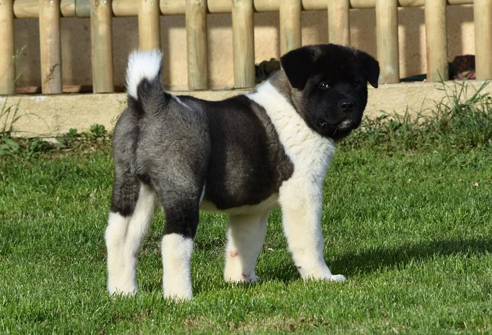 D'Etoily Valy - Chiot disponible  - Akita americain