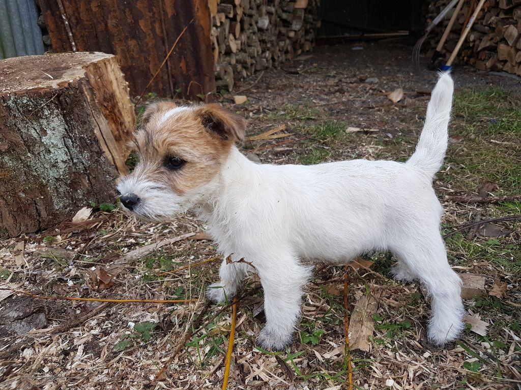 The Magnificent Fox Hunter - Chiot disponible  - Jack Russell Terrier
