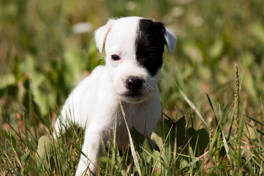 The Magnificent Fox Hunter - Chiot disponible  - Parson Russell Terrier