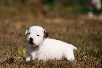 The Magnificent Fox Hunter - Jack Russell Terrier - Portée née le 25/08/2018