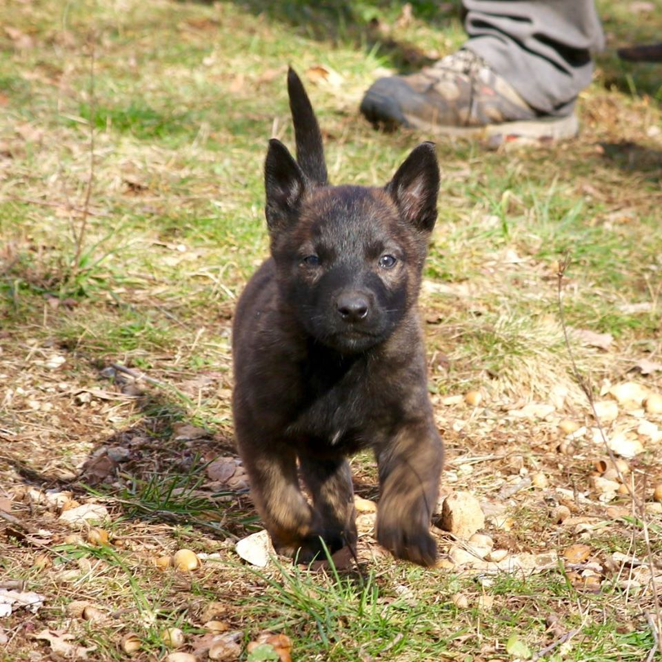 Du Rocher Des Ducs - Chiot disponible  - Berger hollandais