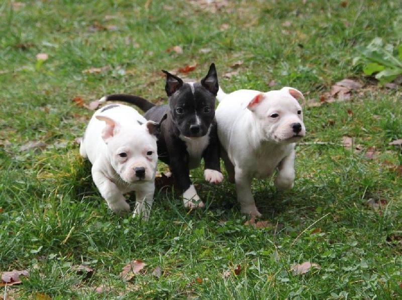 Du Rocher Des Ducs - Staffordshire Bull Terrier - Portée née le 15/10/2014