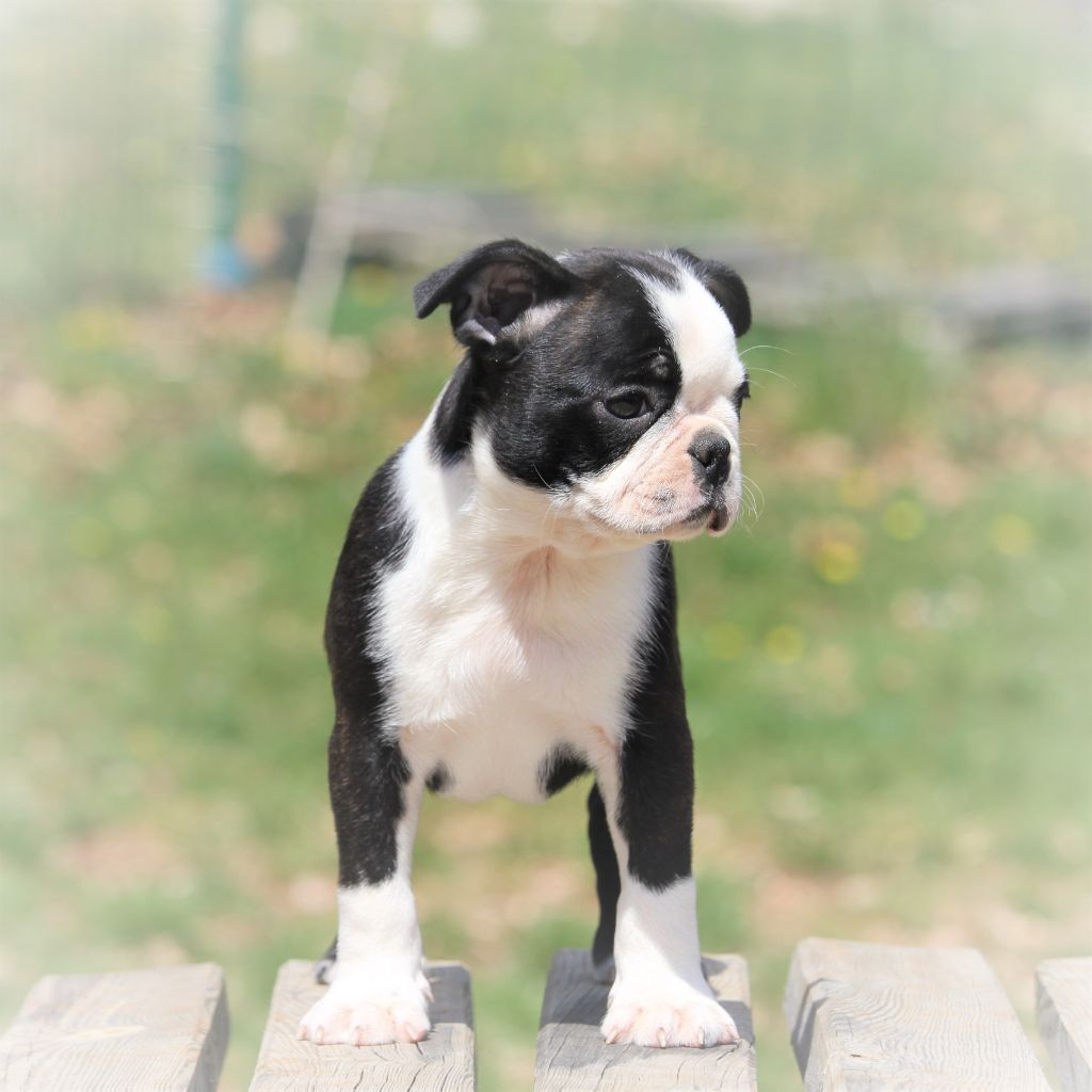 Du Rocher Des Ducs - Chiot disponible  - Boston Terrier