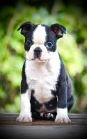 Du Rocher Des Ducs - Boston Terrier - Portée née le 04/09/2016