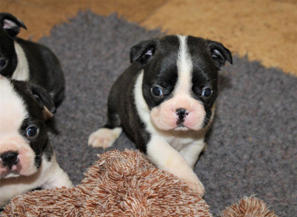 Du Rocher Des Ducs - Chiot disponible  - Boston Terrier