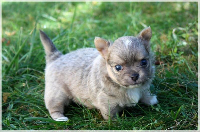 Del Templo De Divina - Chiot disponible  - Chihuahua