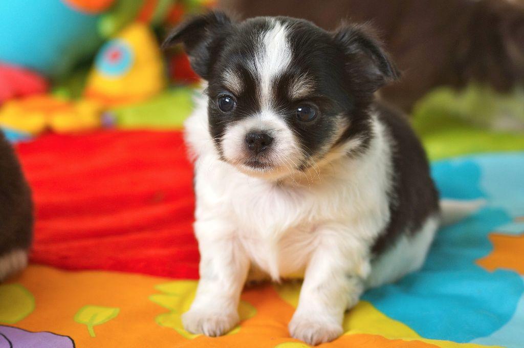Des Joyaux Divins - Chiot disponible  - Chihuahua