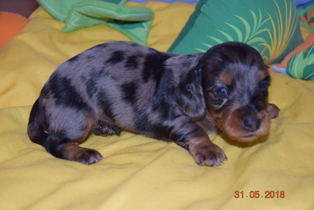 Of Little Dog's Paradise - Chiot disponible  - Teckel poil long
