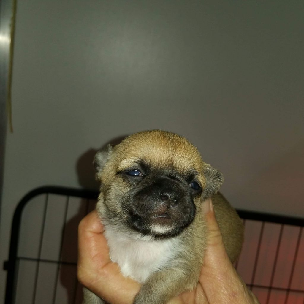 Of Little Dog's Paradise - Chiot disponible  - Chihuahua