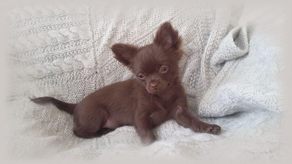 Du Patio Des Belles Terres - Chiot disponible  - Chihuahua