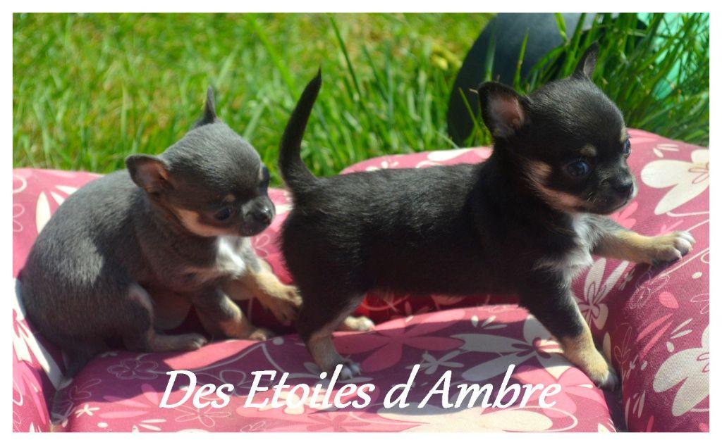Des Etoiles D'ambre - Chiot disponible  - Chihuahua