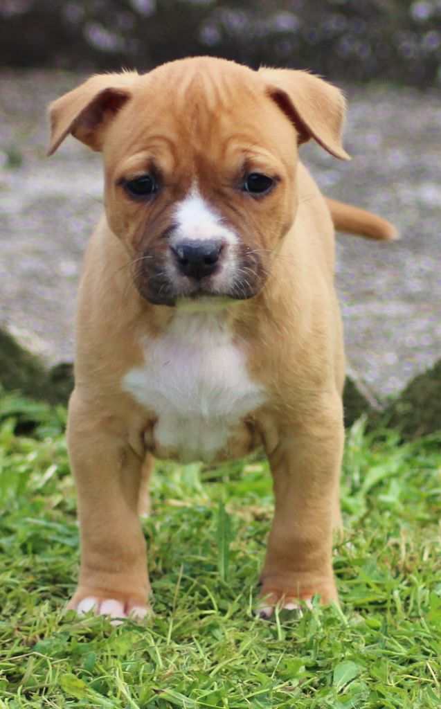 Dreamclass - Chiot disponible  - American Staffordshire Terrier