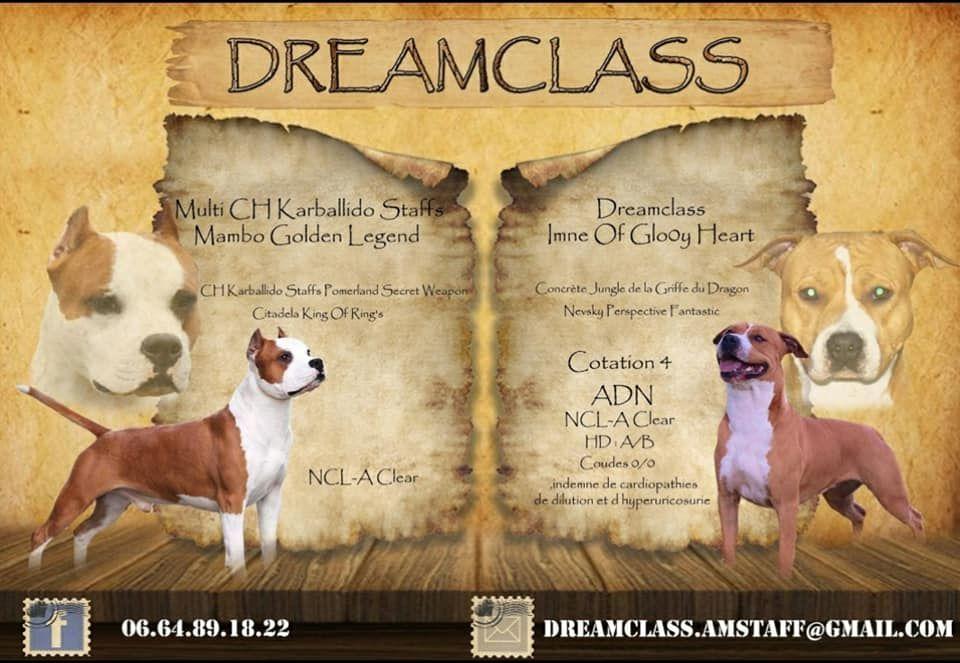 Dreamclass - American Staffordshire Terrier - Portée née le 09/05/2018
