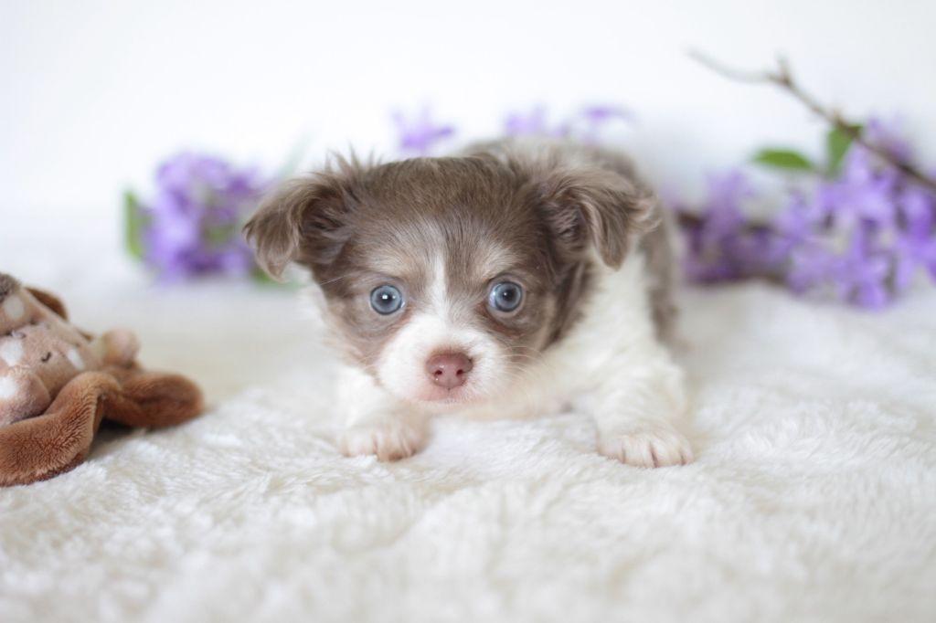 De La Vallée Des Cèdres Bleus - Chiot disponible  - Chihuahua
