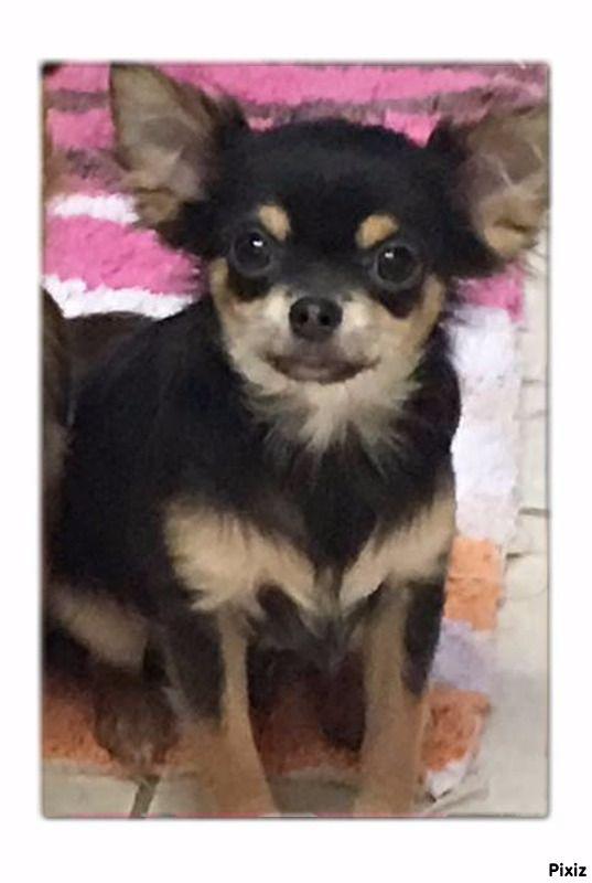 NÉRON - Chihuahua