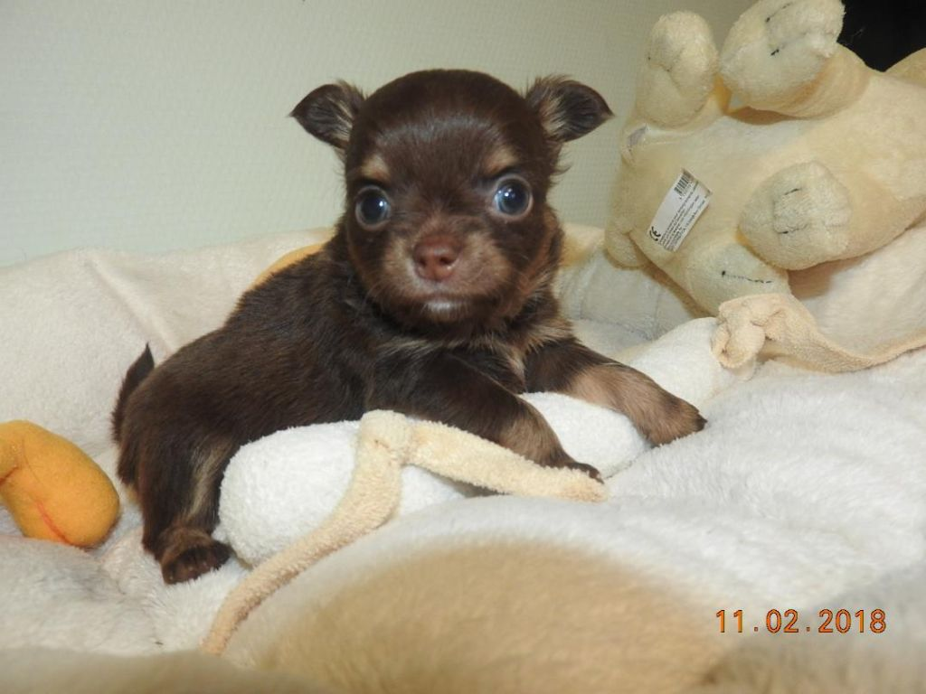 male marron et tan - Chihuahua