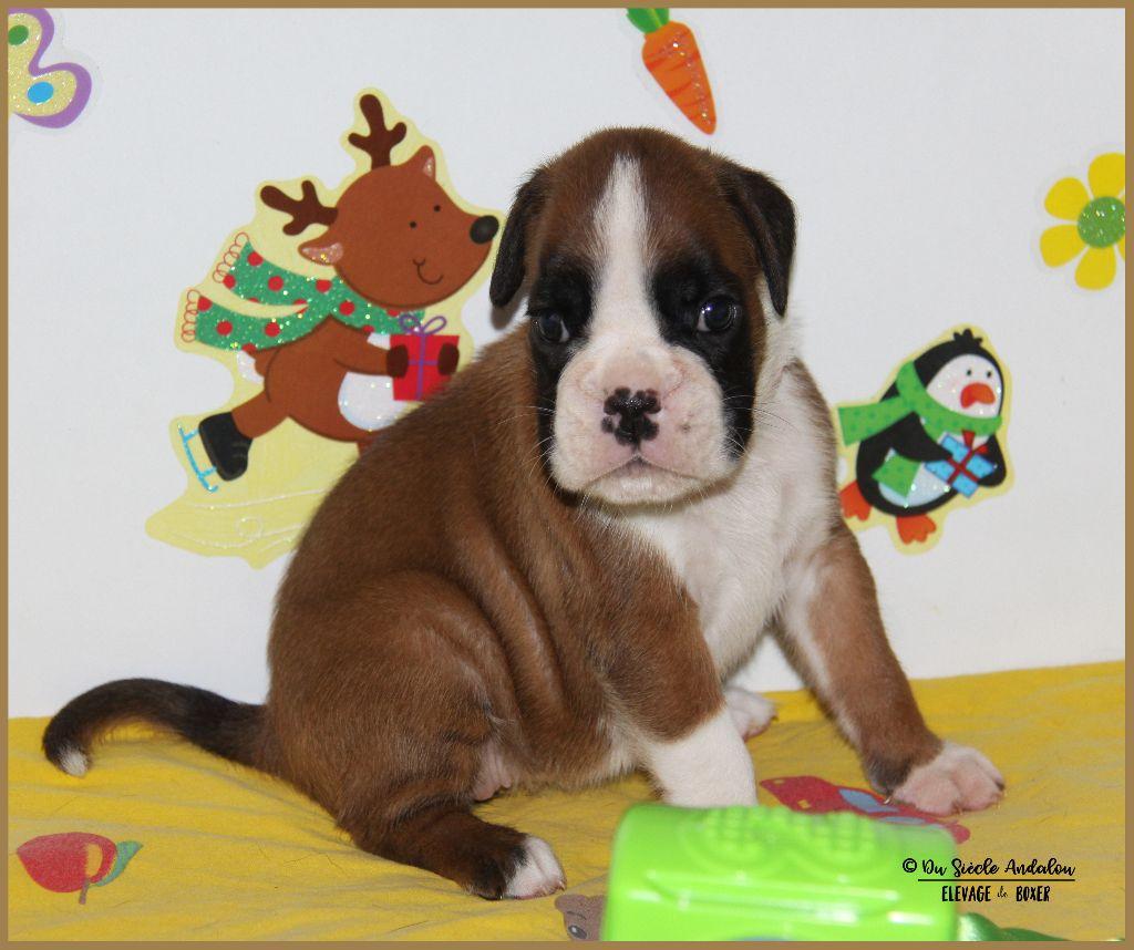 Du Siecle Andalou - Chiot disponible  - Boxer