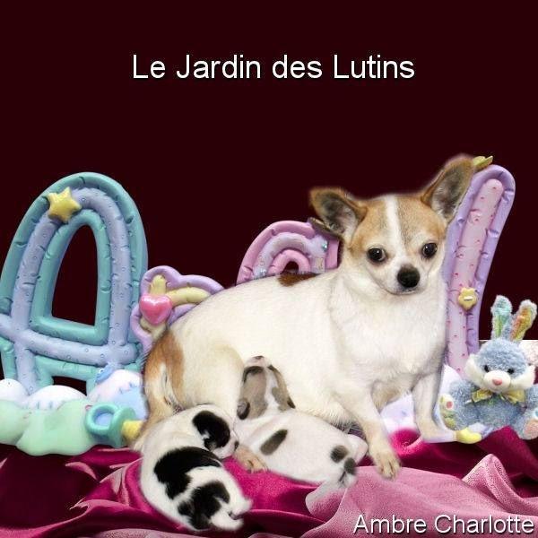 du Jardin des Lutins - Chihuahua - Portée née le 13/01/2017