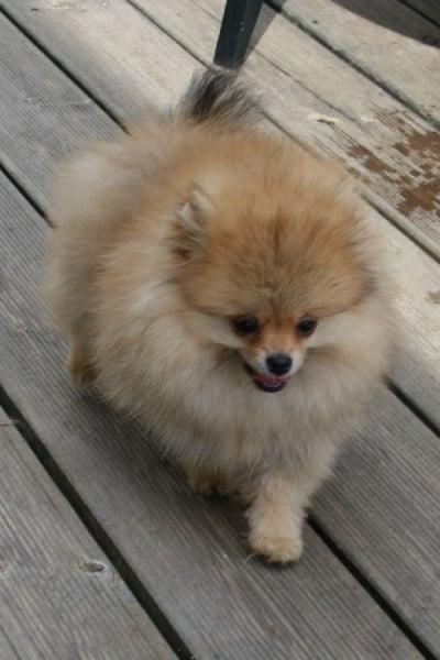 Chiot - Elevage le jardin des lutins - eleveur de chiens
