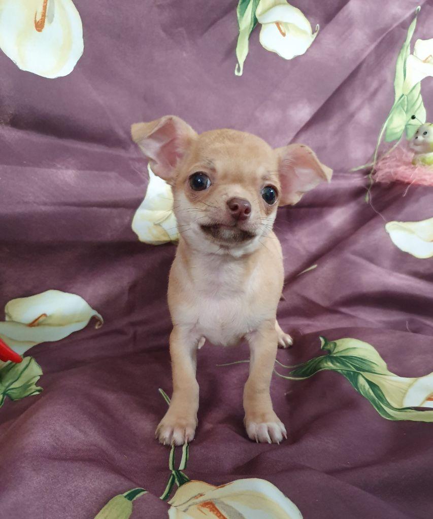 du Jardin des Lutins - Chiot disponible  - Chihuahua
