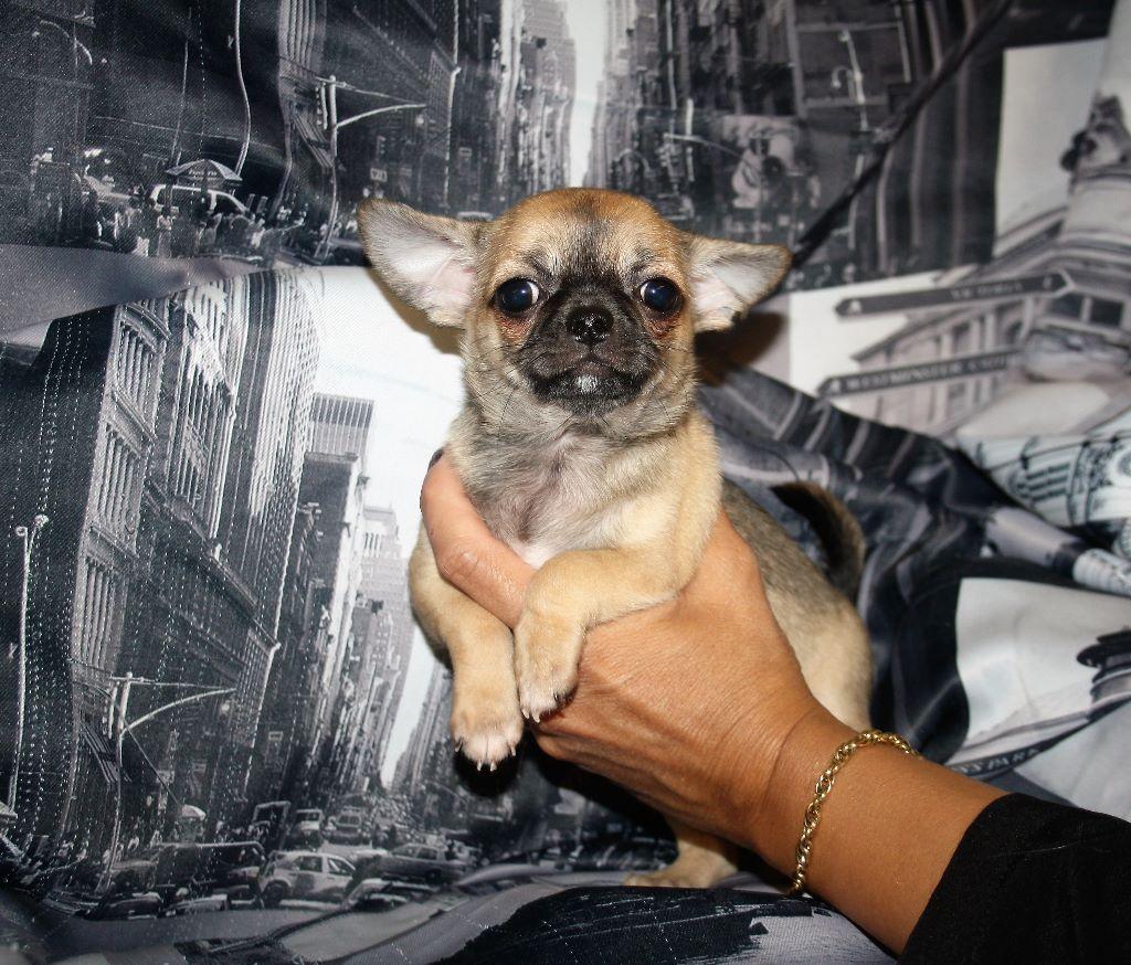 Nickson poils courts - Chihuahua