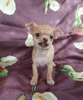 du Jardin des Lutins - Chihuahua - Portée née le 06/07/2019