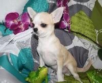 du Jardin des Lutins - Chihuahua - Portée née le 12/01/2018