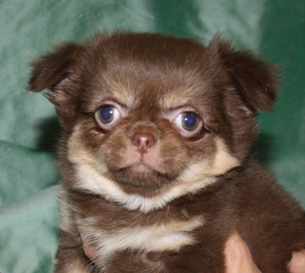 chiot Chihuahua du Jardin des Lutins